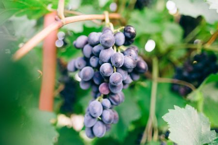 Bunch of red grapes hanging on a grape vine