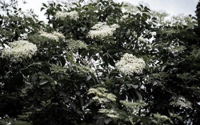 How to Make Elderflower Wine