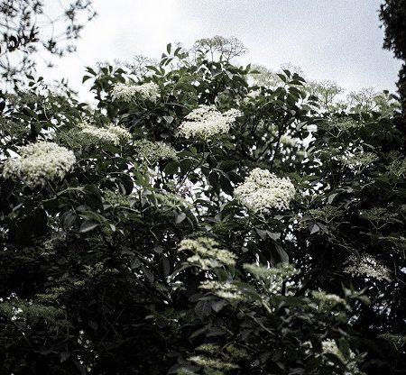 Elderflower tree in flower