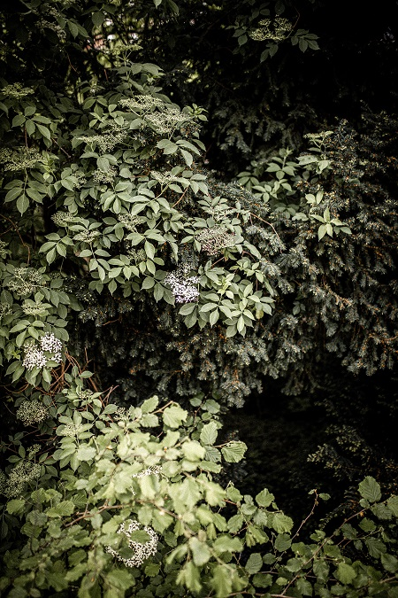 Elderflower tree in blossom