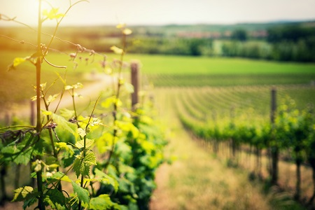Sun shining on row of grape vines at a winery