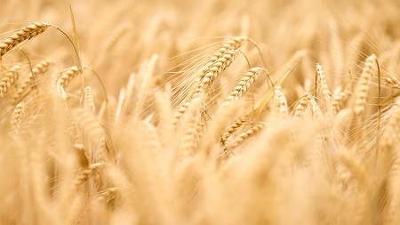 Close up of field of wheat